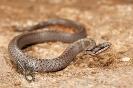 Cobra lagarteira común (Coronella austriaca).