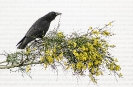 Corvo viaraz (Corvus corone) sobre xesta.
