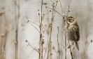 Escribenta das canaveiras (Emberiza schoeniclus)