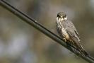 Falcón pequeno (Falco subbuteo).