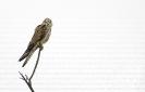 Lagarteiro común (Falco tinnunculus).