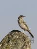 Pica campestre (Anthus campestris)
