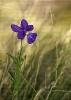 Viola bubanii.