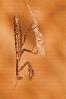 Barbantesa (Mantis religiosa).
