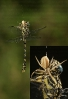 Candil curvado (Onychogomphus uncatus) capturado por araña Runcinia grammica.