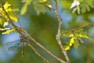 Esmeralda espléndida (Macromia splendens).