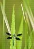 Gaiteiro bicolor (Calopteryx xanthostoma).