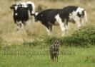 Lobo ibérico (Canis lupus signatus) e vacas frisonas.