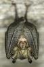 Morcego de ferradura pequeno (Rinolophus hipposideros).
